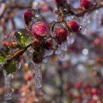 Flower Buds Encased in Ice
