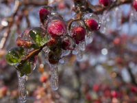 Flower Buds Encased in Ice